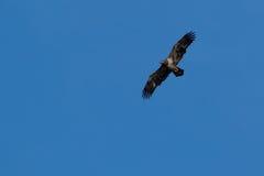 Amerikaanse Junevile Kaal Eagle Royalty-vrije Stock Afbeeldingen