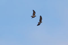 Amerikaanse Junevile Kaal Eagle Stock Fotografie