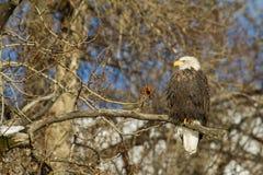 Amerikaanse kale adelaar stock foto's