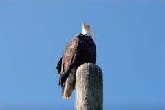 Amerikaanse kale adelaar royalty-vrije stock foto's