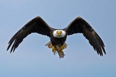 Amerikaanse kale adelaar Royalty-vrije Stock Afbeelding