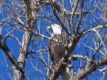 Amerikaanse kale adelaar Stock Foto
