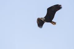 Amerikaanse kale adelaar Royalty-vrije Stock Foto