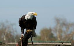 Amerikaanse kale adelaar op de hand van een valkenier Stock Afbeelding