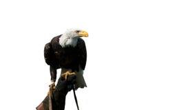 Amerikaanse kale adelaar op de hand van een valkenier Royalty-vrije Stock Foto