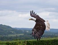 Amerikaanse Kale Adelaar tijdens de vlucht Royalty-vrije Stock Foto's