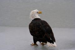 Amerikaanse Kale Eagle-tribunes op bevroren rivier Stock Afbeeldingen