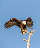 Amerikaanse Kale Eagle-uitgespreide vleugels Stock Foto's