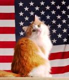 Amerikaanse kat Stock Afbeeldingen
