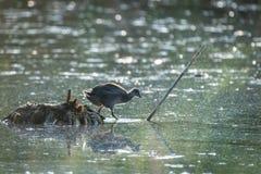 Amerikaanse Koet Chick Entering Pond stock foto