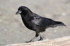 Amerikaanse Kraai - Corvus-brachyrhynchos Royalty-vrije Stock Foto's