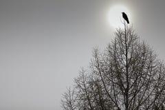 Amerikaanse Kraai die bovenop een tree_ wordt neergestreken Stock Fotografie