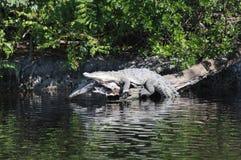Amerikaanse Krokodil Royalty-vrije Stock Foto
