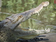 Amerikaanse Krokodil Stock Afbeelding