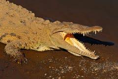 Amerikaanse krokodil, Crocodylus-acutus, dier in het rivierwater Het wildscène van aard Krokodil van rivier Tarcoles, Costa Stock Foto's