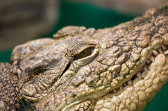 Amerikaanse krokodille dichte omhooggaand Stock Afbeelding