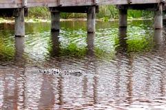 Amerikaanse krokodille het zoeken prooi in het water van het moerasland Stock Foto's