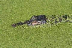 Amerikaanse Krokodille Krokodillemississipiensis Stock Foto