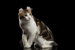 Amerikaanse Krul Cat Breed, die op Zwarte Geïsoleerde achtergrond zitten royalty-vrije stock foto's