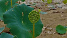 Amerikaanse Lotus Plant royalty-vrije stock foto's