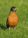 Amerikaanse migratorius van Robin - Turdus- royalty-vrije stock foto