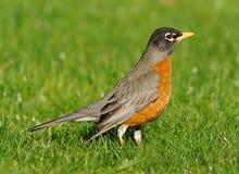 Amerikaanse migratorius van Robin - Turdus- royalty-vrije stock fotografie