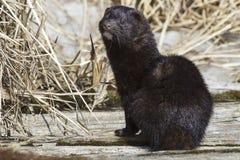 Amerikaanse mink die op een houten brug zit Royalty-vrije Stock Foto's