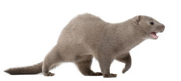Amerikaanse Mink, Neovison Vison, 3 maanden oud royalty-vrije stock afbeeldingen