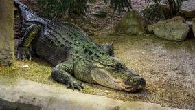 Amerikaanse Mississippiensis-Alligator in kunstmatige habitat royalty-vrije stock foto's