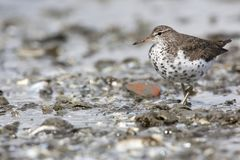 Amerikaanse Oeverloper, Spotted Sandpiper, Actitis macularius stock photos