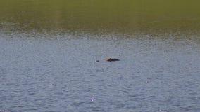 Amerikaanse ondergedompelde alligator, drijvend in de vijver van Florida, 4K stock video