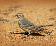 Amerikaanse Pipit-Vogel Stock Afbeeldingen