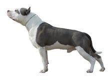 Amerikaanse Pit Bull Terrier-geïsoleerde tribune Royalty-vrije Stock Foto's