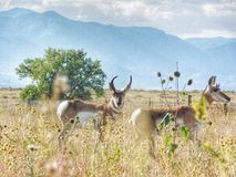 Amerikaanse Pronghorn-Antilope stock afbeeldingen