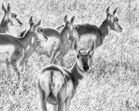 Amerikaanse Pronghorn-Antilope royalty-vrije stock foto's