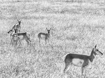 Amerikaanse Pronghorn-Antilopekudde royalty-vrije stock fotografie
