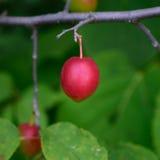 Amerikaanse Pruim (americana Prunus) royalty-vrije stock foto's