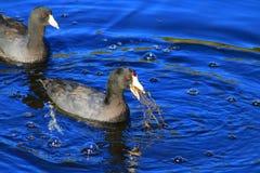 Amerikaanse Purpere Gallinule stock foto's