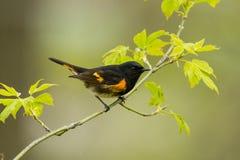 Amerikaanse Redstart stock afbeeldingen