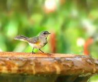 Amerikaanse Redstart die zich op een vogelbad bevinden royalty-vrije stock fotografie