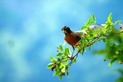 Amerikaanse Robin stock afbeelding