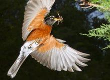 Amerikaanse Robin die (Turdus-migratorius) met prooi vliegen stock foto's