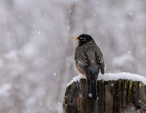 Amerikaanse Robin in een recente sneeuw Royalty-vrije Stock Fotografie