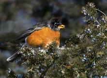 Amerikaanse Robin (migratirius Turdus) Stock Foto's