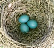 Amerikaanse Robin Eggs Royalty-vrije Stock Foto