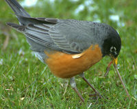 Amerikaanse Robin (migrato Turdus Royalty-vrije Stock Fotografie