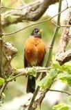 Amerikaanse Robin streek in boom neer stock afbeeldingen