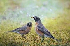 Amerikaanse Robins in Wildflowers Royalty-vrije Stock Foto's
