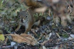 Amerikaanse rode eekhoorn die naar voedsel zoeken stock foto