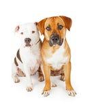 Amerikaanse Staffordshire en Grote Gemengde Rassenhonden die Togeth zitten Stock Afbeelding